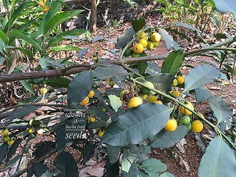 Seeds village Rarest Garcinia Intermedia Lemon Drop