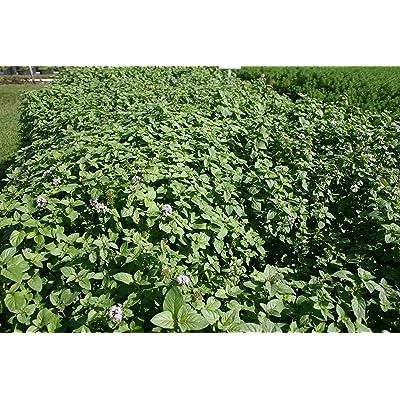 Pond Plant, Aquatic Mint, Large Leaf (3 Live Plants) : Garden & Outdoor