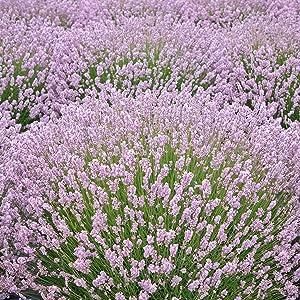 Outsidepride Lavender Rosea - 100 Seeds