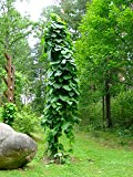 15 Seeds Pipevine, Dutchman's Pipe