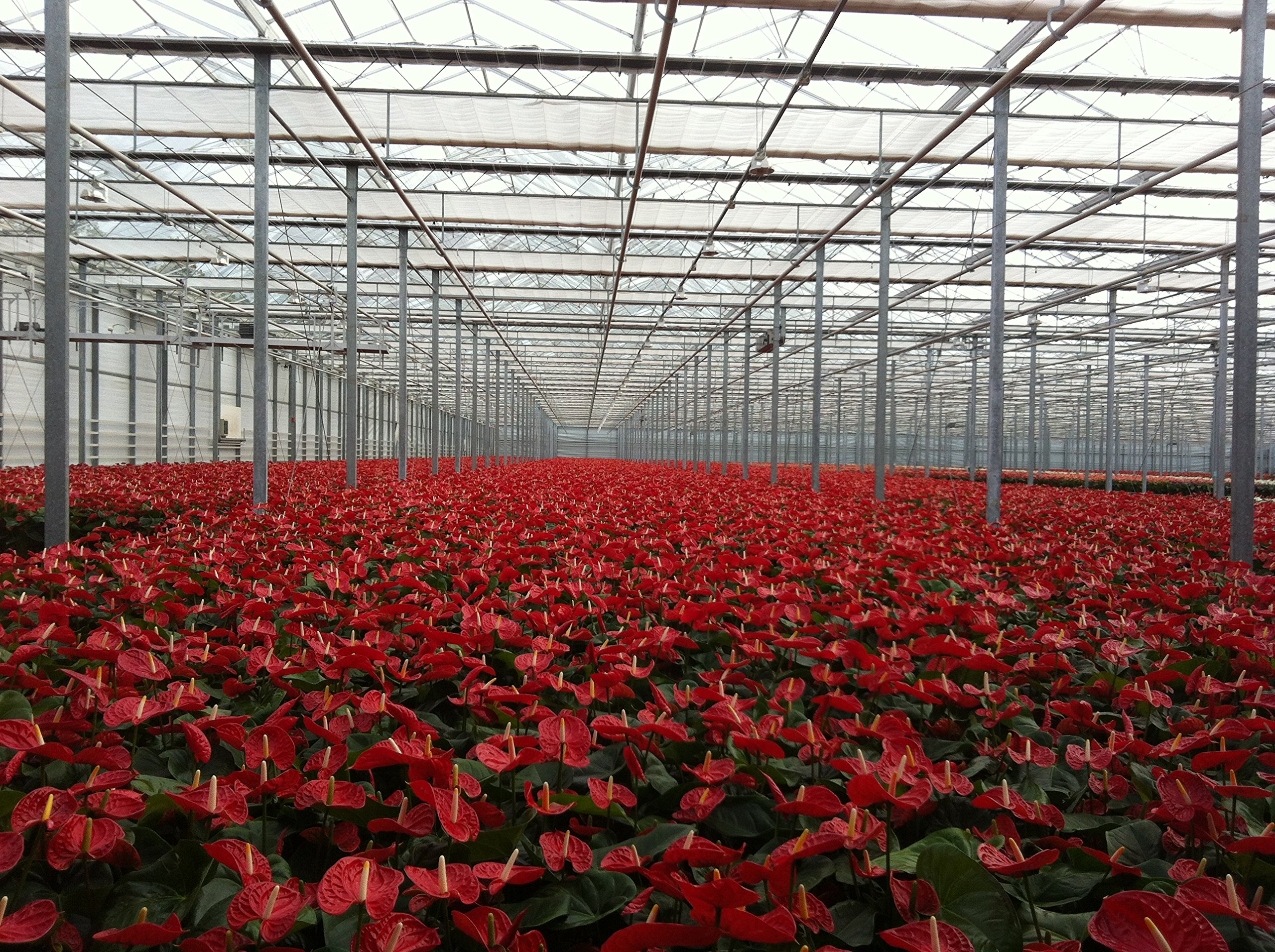 Anthurium Red - Live House Plant - Easy to Grow - Florist Quality - Cleans the Air by Florida Foliage (Image #5)
