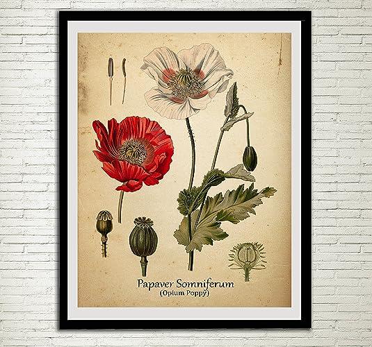 Amazon.com: Opium Poppy Drug Plant Print Red Poppy Antique Botanical ...