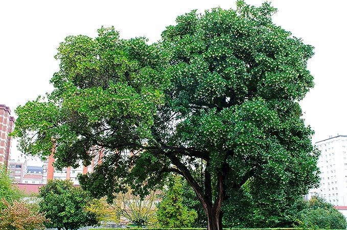 Erdbeerbaum attraktive K/übelpflanze 40-50cm - 2 ltr. verschiedene Gr/ö/ßen Arbutus unedo