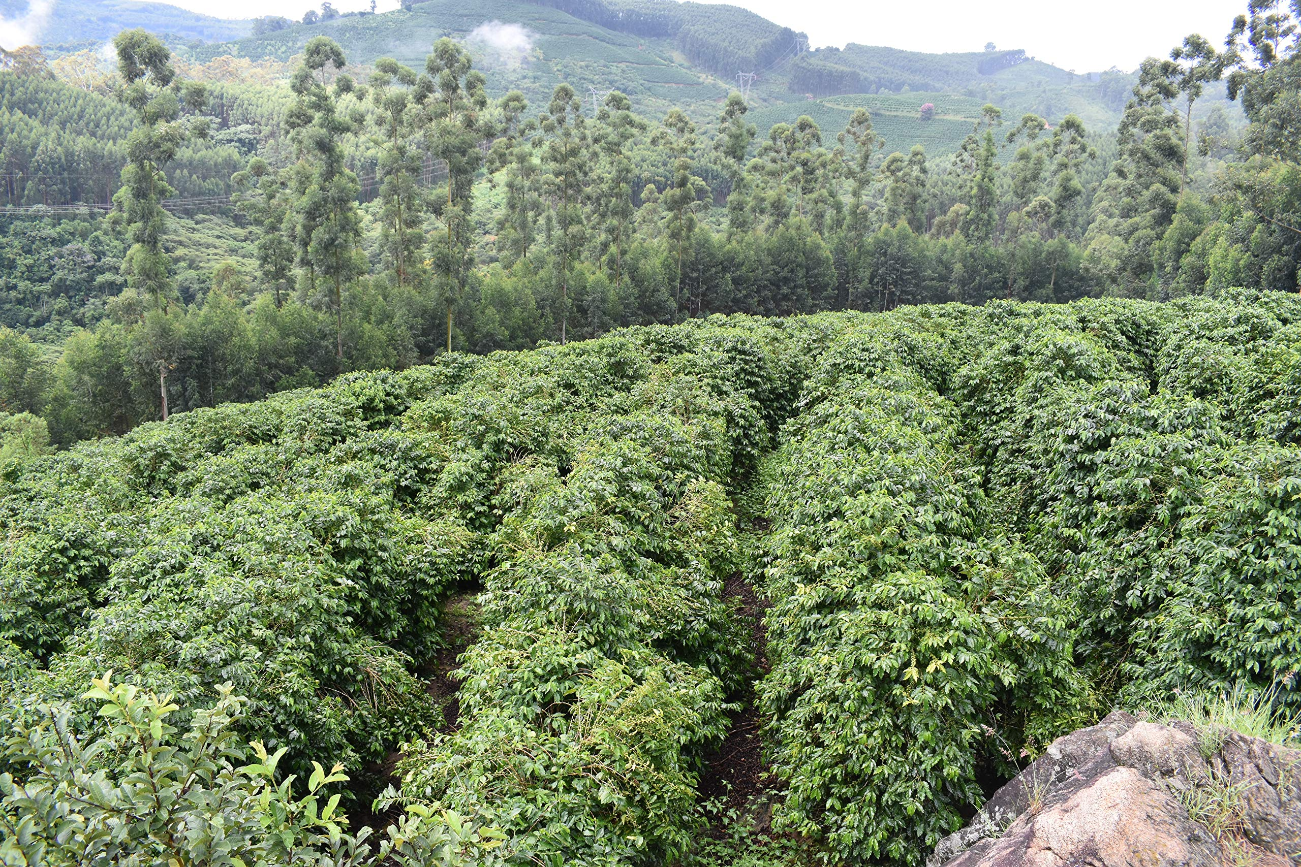 22 lbs BRAZIL SUL MINAS NATURAL PROCESS SPECIALTY AAA GREEN COFFEE by Invalsa Coffee (Image #4)