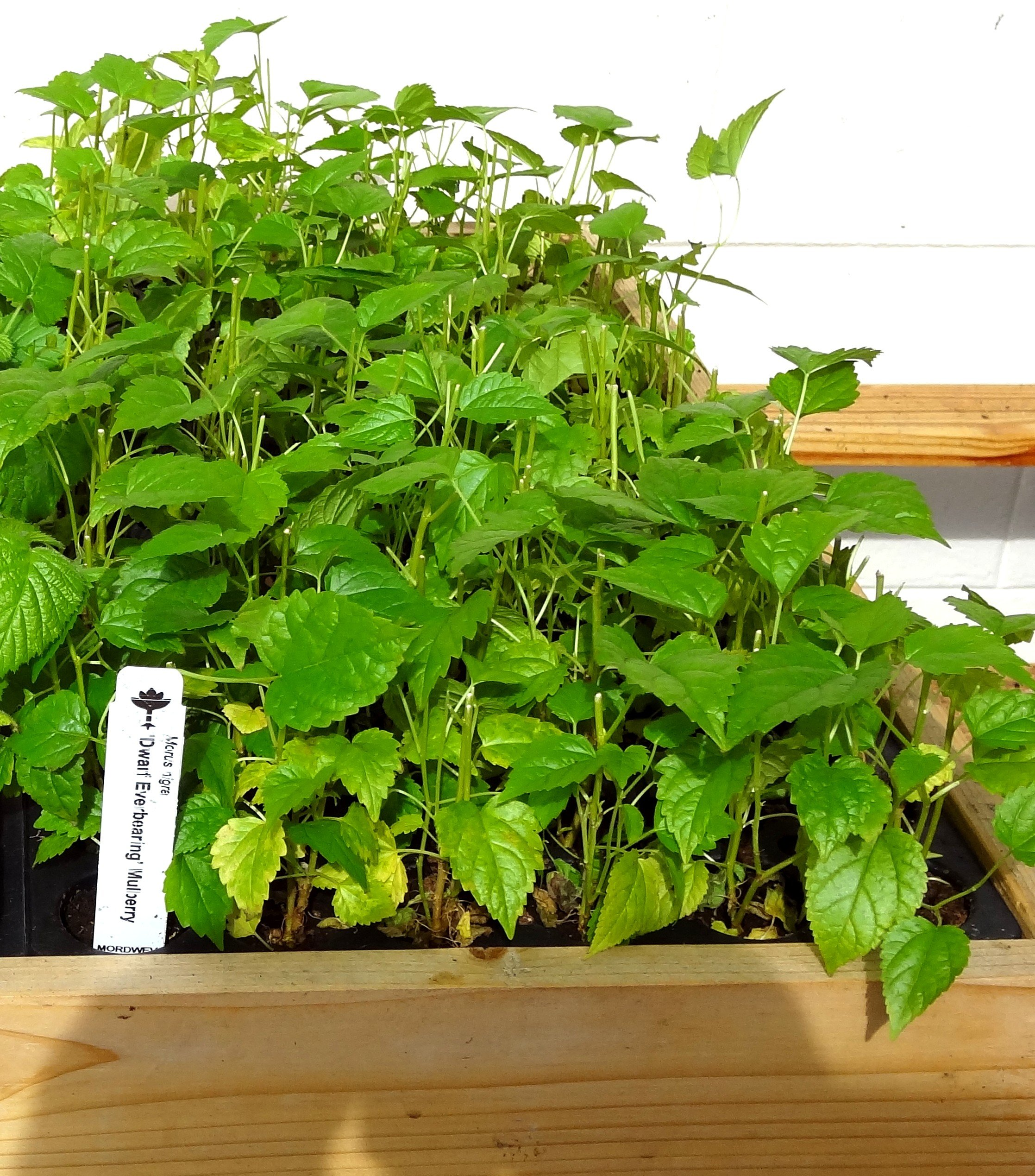 Mulberry ''Dwarf Everbearing'' Price Includes Four (4) Plants by Hello Organics