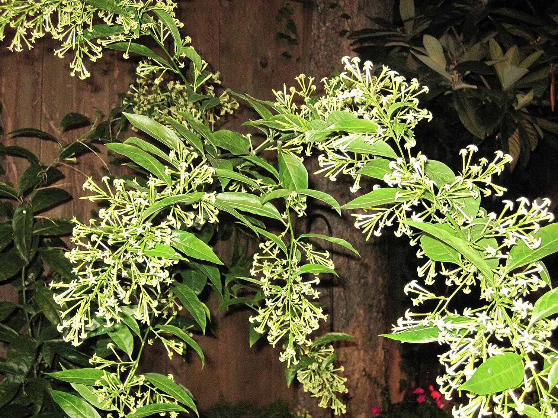 Amazon worlds most fragrantnight jasminerare 7 seeds amazon worlds most fragrantnight jasminerare 7 seeds 1043 flowering plants garden outdoor izmirmasajfo Image collections