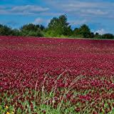 Outsidepride Crimson Clover Seed: Nitro-Coated, Inoculated - 5 LBS