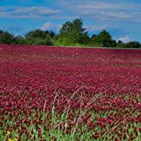Outsidepride Crimson Clover Seed: Nitro-Coated, Inoculated - 1/4 LB