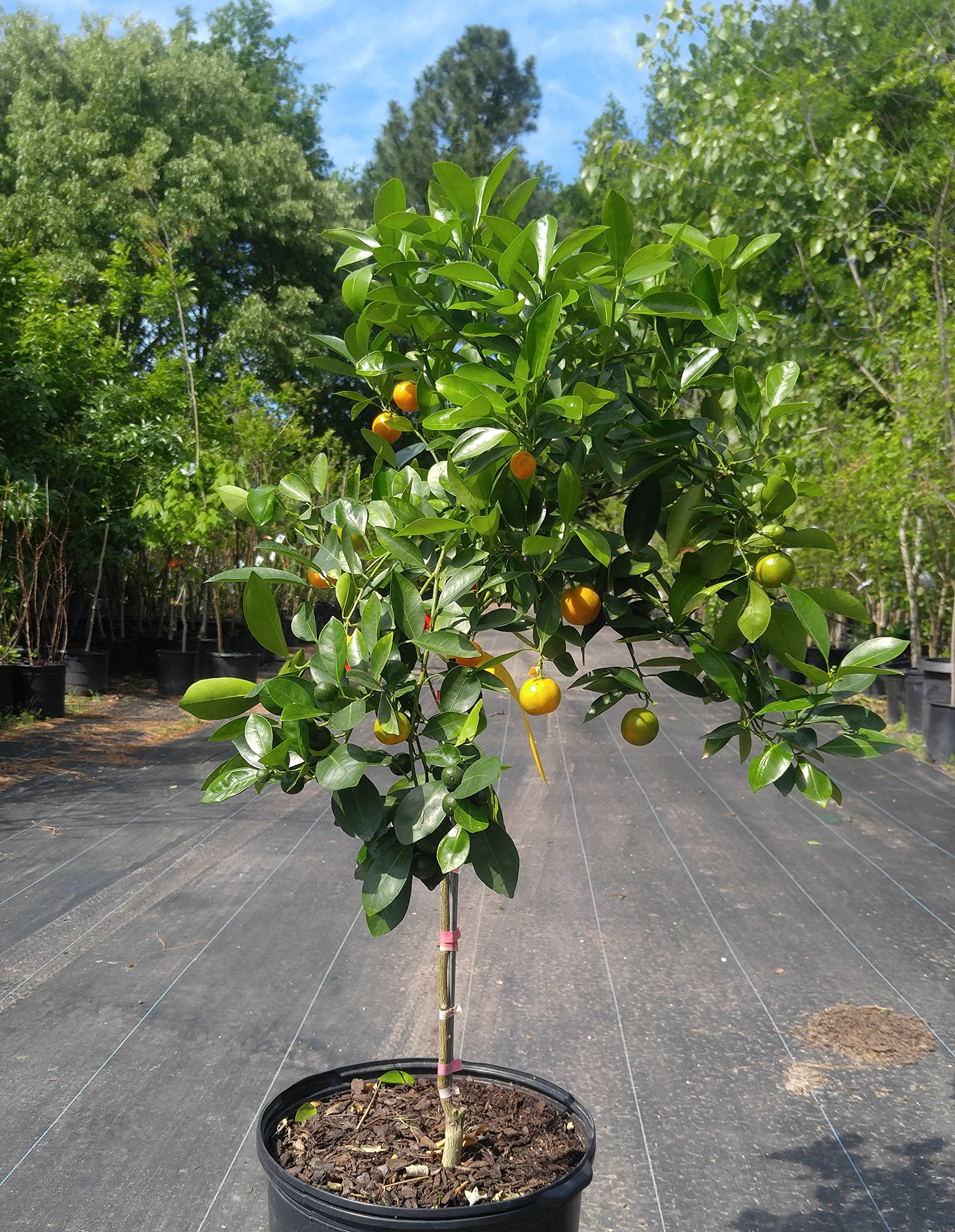 Calamondin Orange Tree - (2 Year Old) Can not Ship Any Citrus Outside The State of Texas