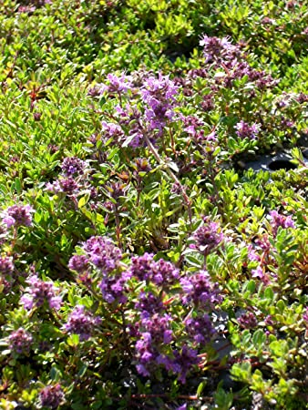 Thymus Serpyllum Magic Carpet Garten Thymian 50 Pflanzen Im 5 6