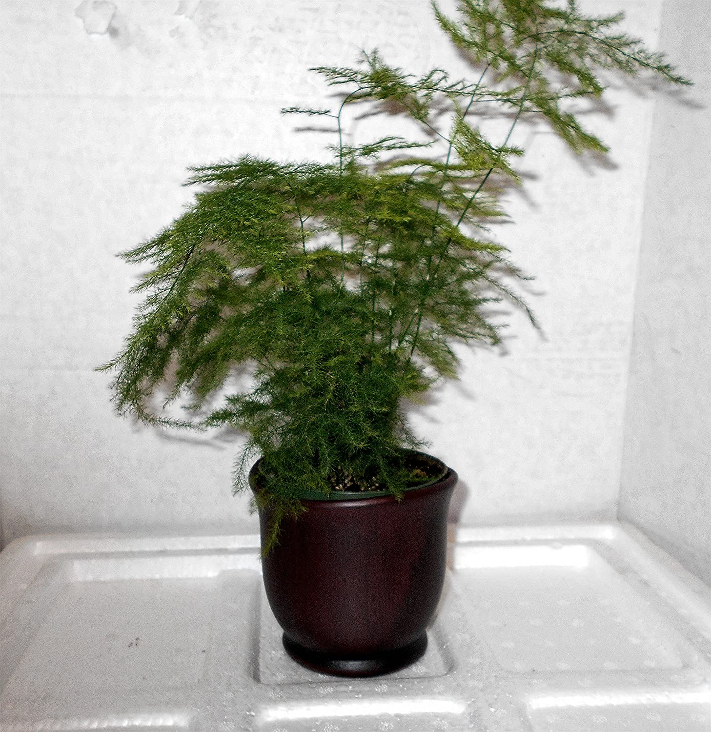 Amazon Com Fern Leaf Plumosus Asparagus Fern 4 Pot Ceramic Color Brown Pot W Fertilizer Gift Everything Else