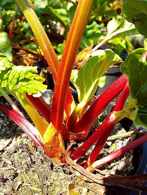 60 cm Liefergröße Dehner Gemüsepflanze Himbeerrhabarber himbeerrote Stängel ca