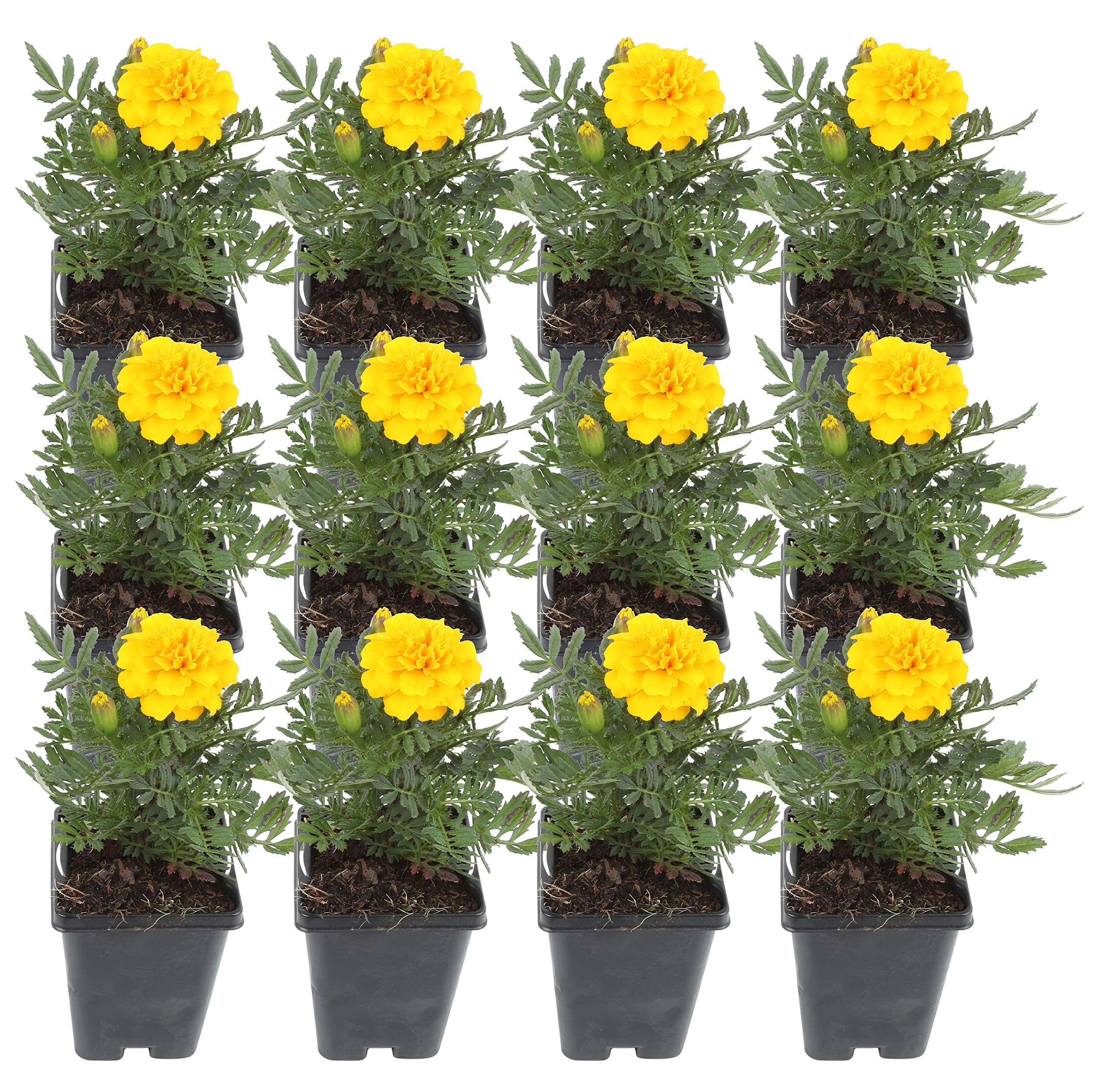 Costa Farms Marigold Live Outdoor Plant 1 PT Grower's Pot, 12-Pack, Yellow