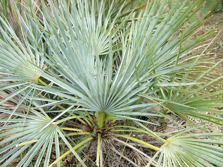 5/m/éditerran/éenne europ/éenne palmier Nain Arbre Arbuste Chamaerops Humilis Humilis Graines