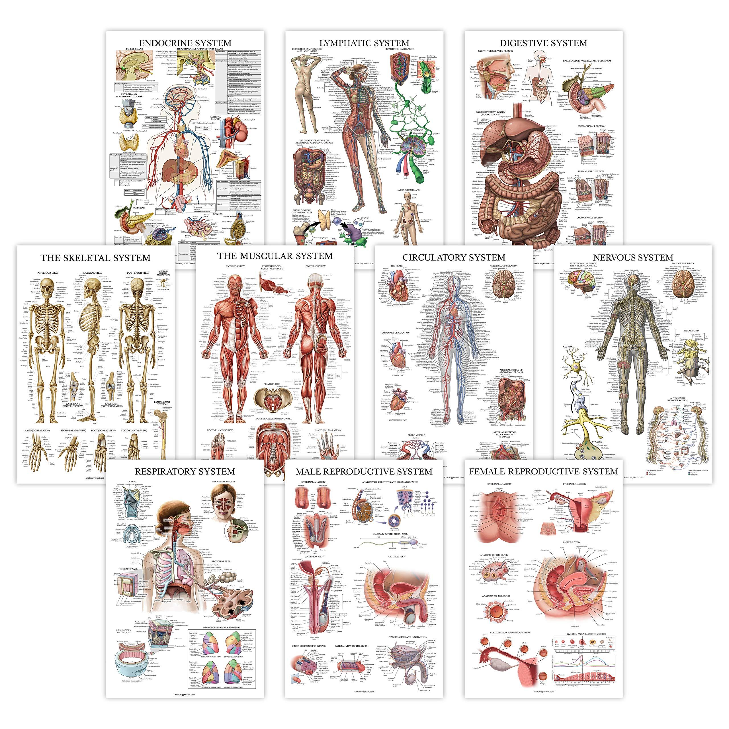 10 Pack – Anatomical Poster Set – Laminated – Muscular, Skeletal, Digestive, Respiratory, Circulatory, Endocrine…
