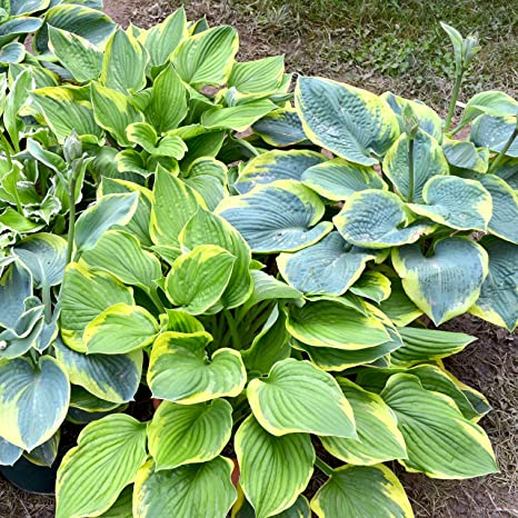 Amazoncom Hosta Bumper Crop Mix 10 Bare Root Hostas Fabulous
