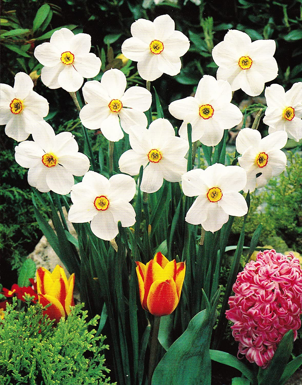 10 Dichternarzissen Actaea duftend Narzissen Blumenzwiebeln Narcissus Blumenhandel Ullrich