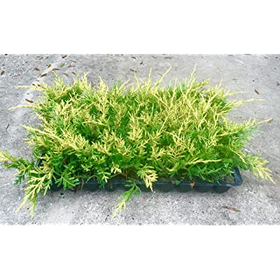 Saybrook Gold Juniper Qty 60 Live Plants Groundcover : Garden & Outdoor