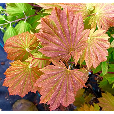 Otaki Fullmoon Japanese Maple 3 - Year Live Plant : Tree Plants : Garden & Outdoor