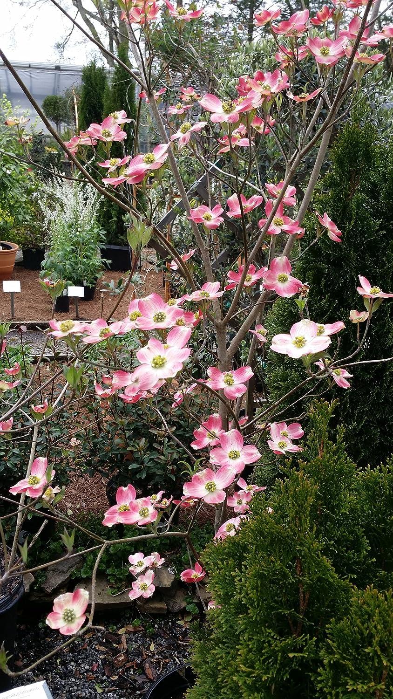 Amazon 1 Gallon Pot Pink Hybrid Dogwood Tree Spectacular