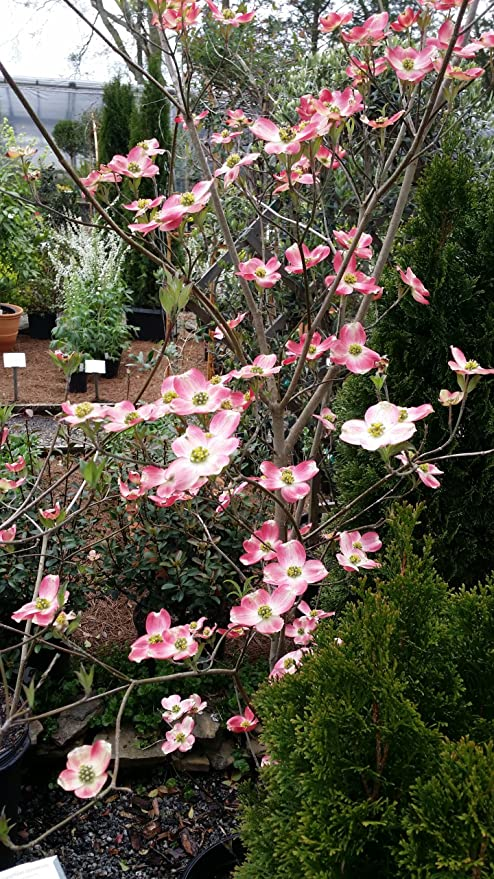 Amazon 1 gallon pot pink hybrid dogwood tree spectacular 1 gallon pot pink hybrid dogwood tree spectacular hybrids are prolific bloomers and mightylinksfo