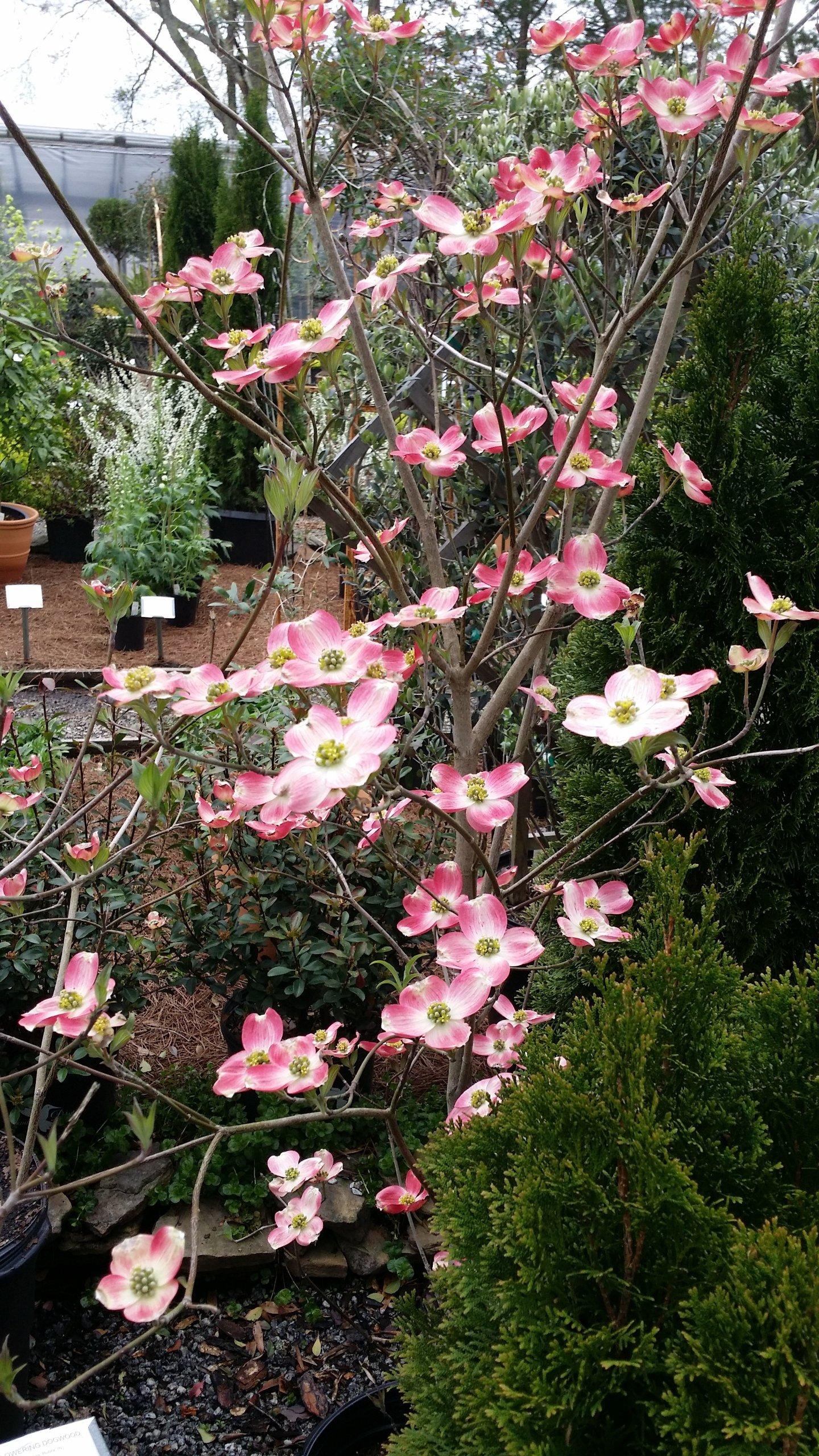 (1 gallon pot) PINK HYBRID DOGWOOD Tree, Spectacular Hybrids Are Prolific Bloomers and Highly Disease Resistant. Hybrid of Cornus florida x Cornus kousa, (AKA STELLAR PINK) Dogwood SOFT PINK Flowers