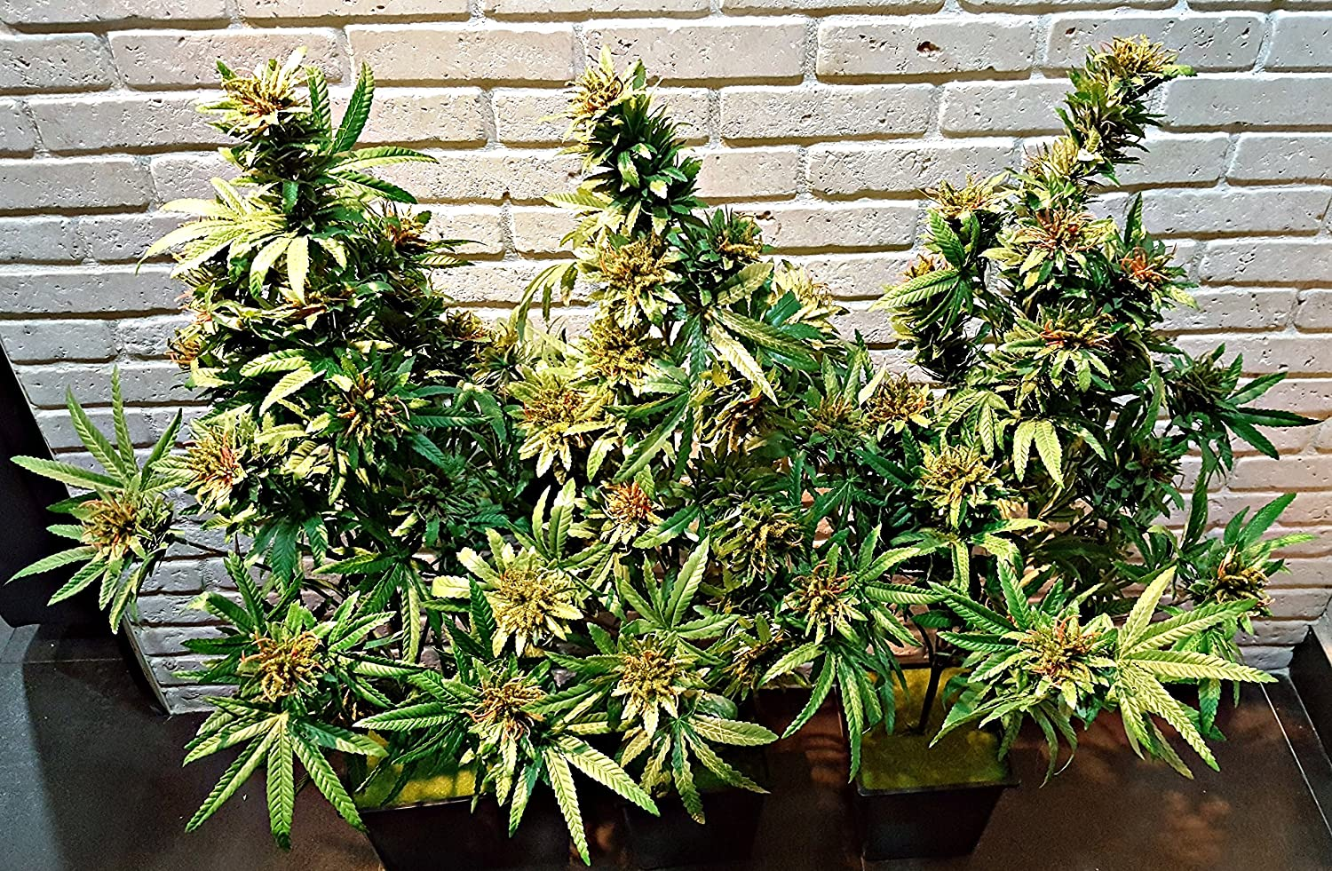 Cannabis Plant with beautiful Buds,Artificial Marijuana ...