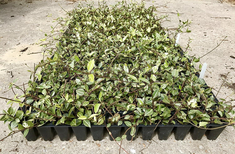 Amazon variegated asiatic jasmine minima qty 60 live plants amazon variegated asiatic jasmine minima qty 60 live plants garden outdoor izmirmasajfo