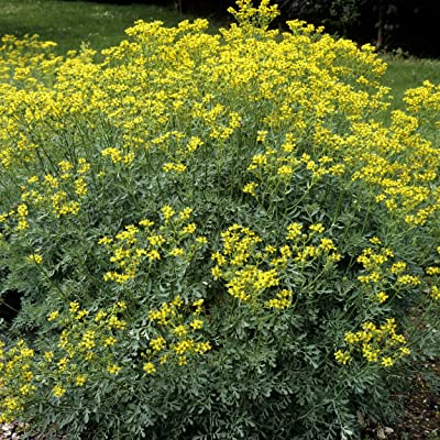 Outsidepride Rue Herb Plant Flower Seeds - 1000 Seeds: Garden & Outdoor