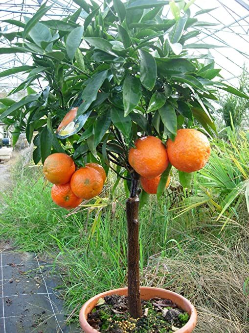 Citrus Clementine Tree Half Standard Amazon Co Uk Garden