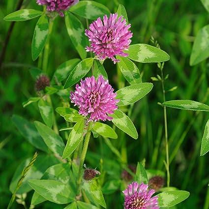 Bildresultat för red clover