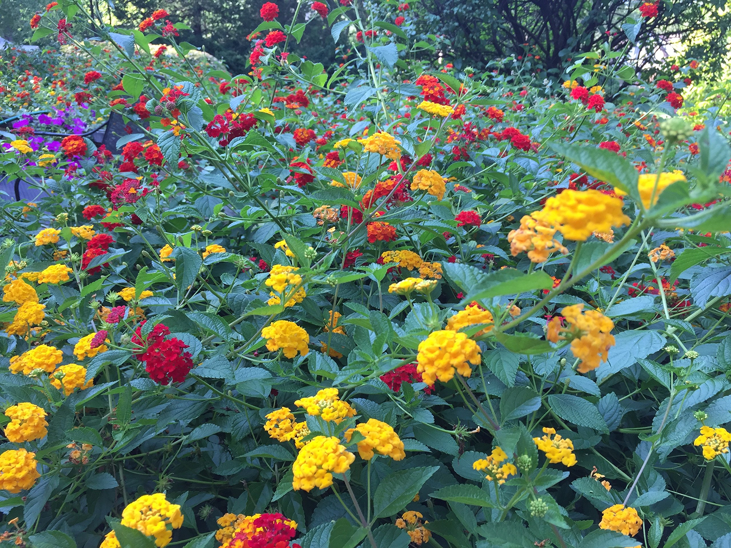 Lantana Camara Flowers - Two (2) Live Plants - Not Seeds - Natural Mosquito Repellant Garden - Attract Hummingbirds & Butterflies - Each 3'' to 7'' Tall in 4 inch Pots - Assorted Colors - PREMIUM PLANTS