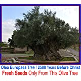 3 Olive tree fresh seeds - Olea europaea 2500 BC - From This Olive Tree