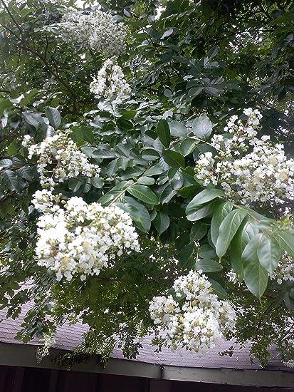 Amazon 1 quart ivory silk japanese lilac small tree or 1 quart quotivory silkquot japanese lilac small tree mightylinksfo