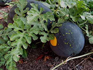 20 Heirlooms Moon And Stars Watermelon Seed By Stonysoil Seed Company.CERTIFIED USDA ORGANIC SEEDS