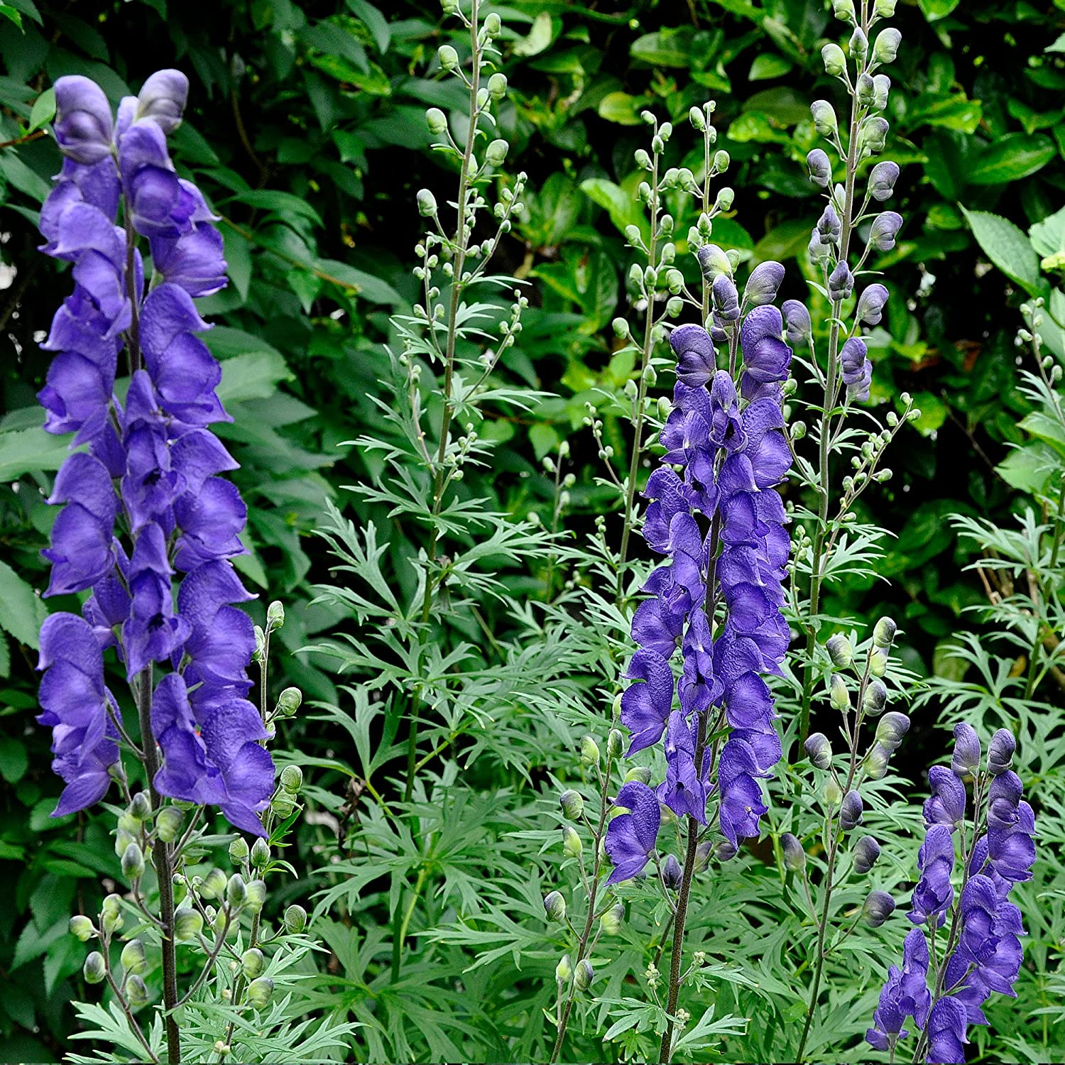 Aconitum napellus Plant Seeds Now or Save Seeds for Many Years 50+ Rare Medicinal Herb Seeds in FROZEN SEED CAPSULES for the Gardener /& Rare Seeds Collector Monkshood Seeds