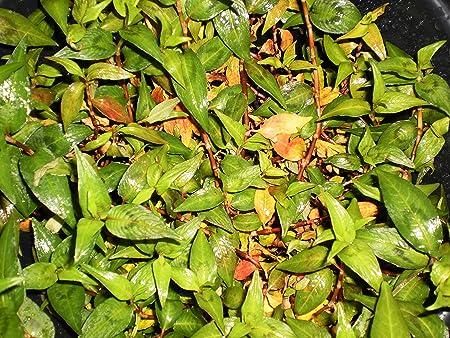 Persicaria odorata rau răm Vietnamese coriander Vietnamese mint Vietnamese cilantro hot mint laksa leaf praew leaf