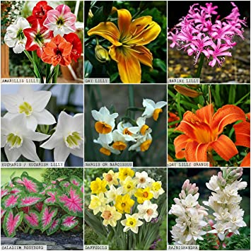 Kraft Seeds Gate Garden Summer Flower Bulbs/Seeds (Multicolour, 9 Pieces)