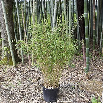 Fargesia Rufa Bambus Rufa