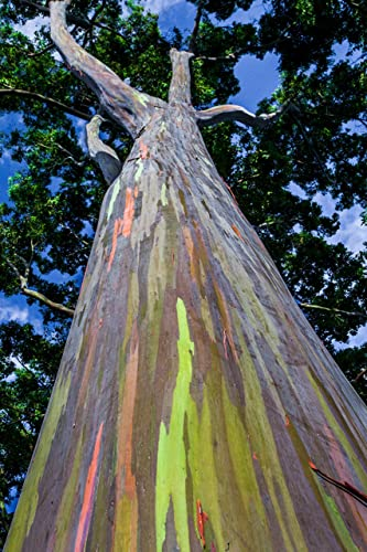 Amazon.com: Close-up of a rainbow eucalyptus tree bark, Oahu, Hawaii print picture photo photograph fine art: Handmade