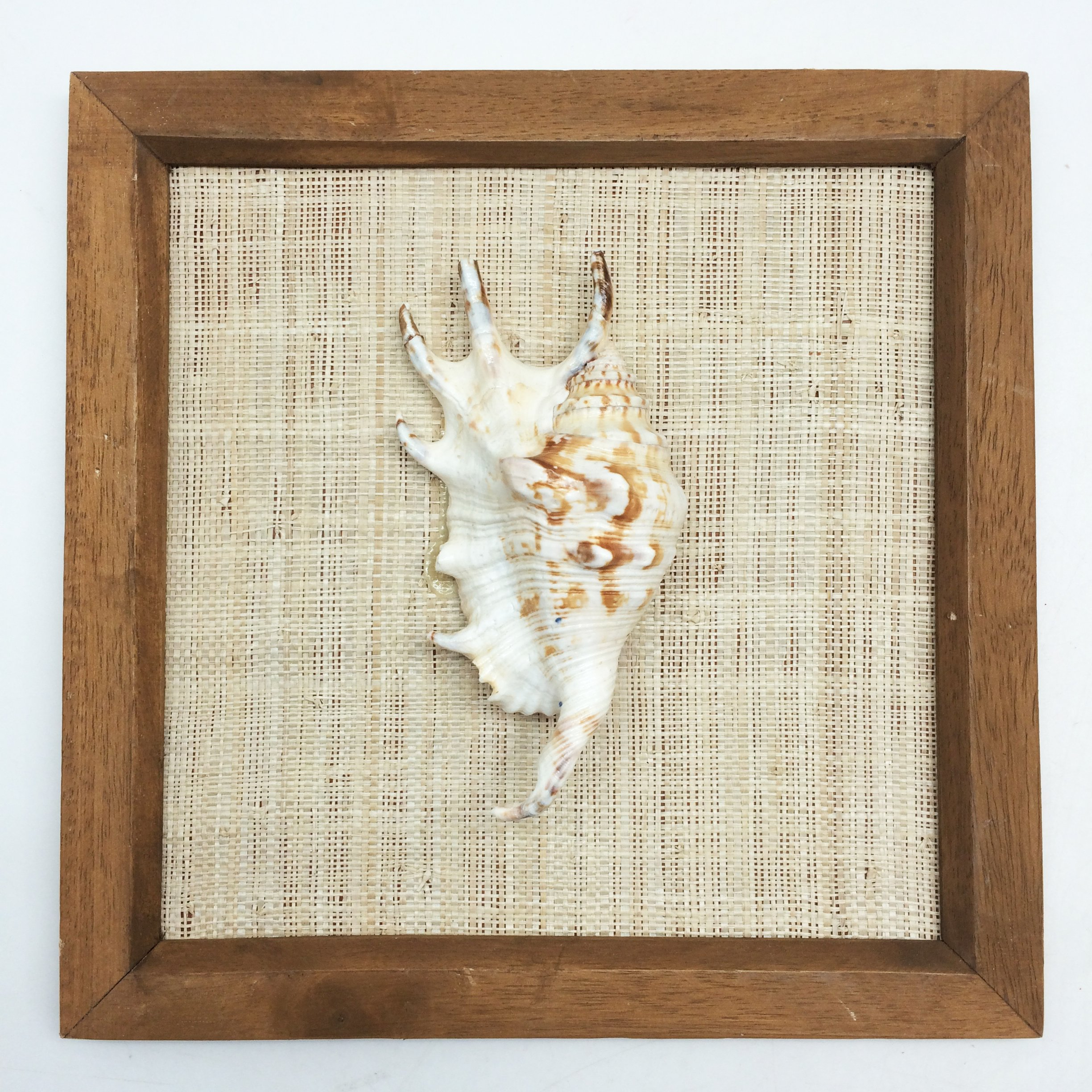 PEPPERLONELY 8x8 Inch Wood Framed Lambis Spider Conch Shell, Sea Shell Art Wall Décor by PEPPERLONELY (Image #1)