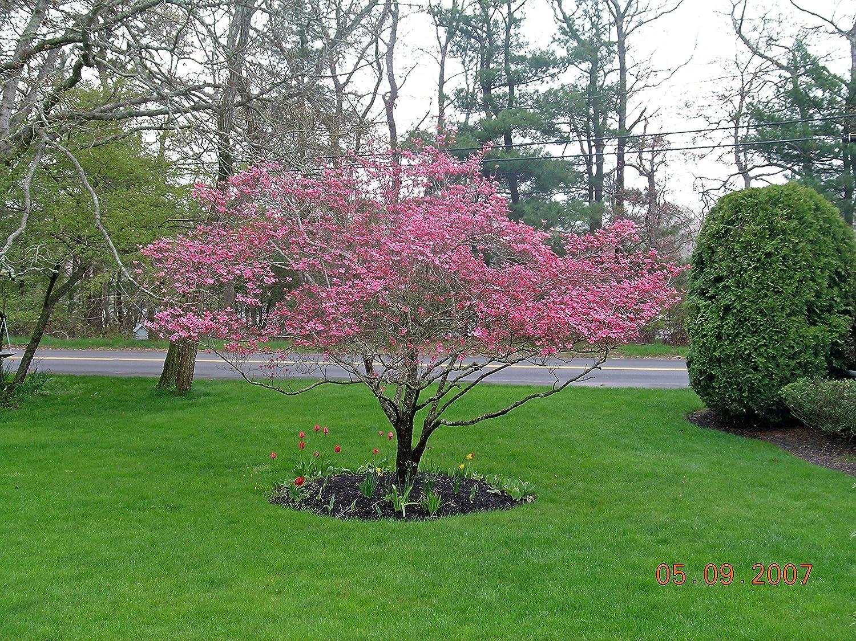Amazon Exotic10 Pink Dogwood Tree Seeds Showyrare 1193a