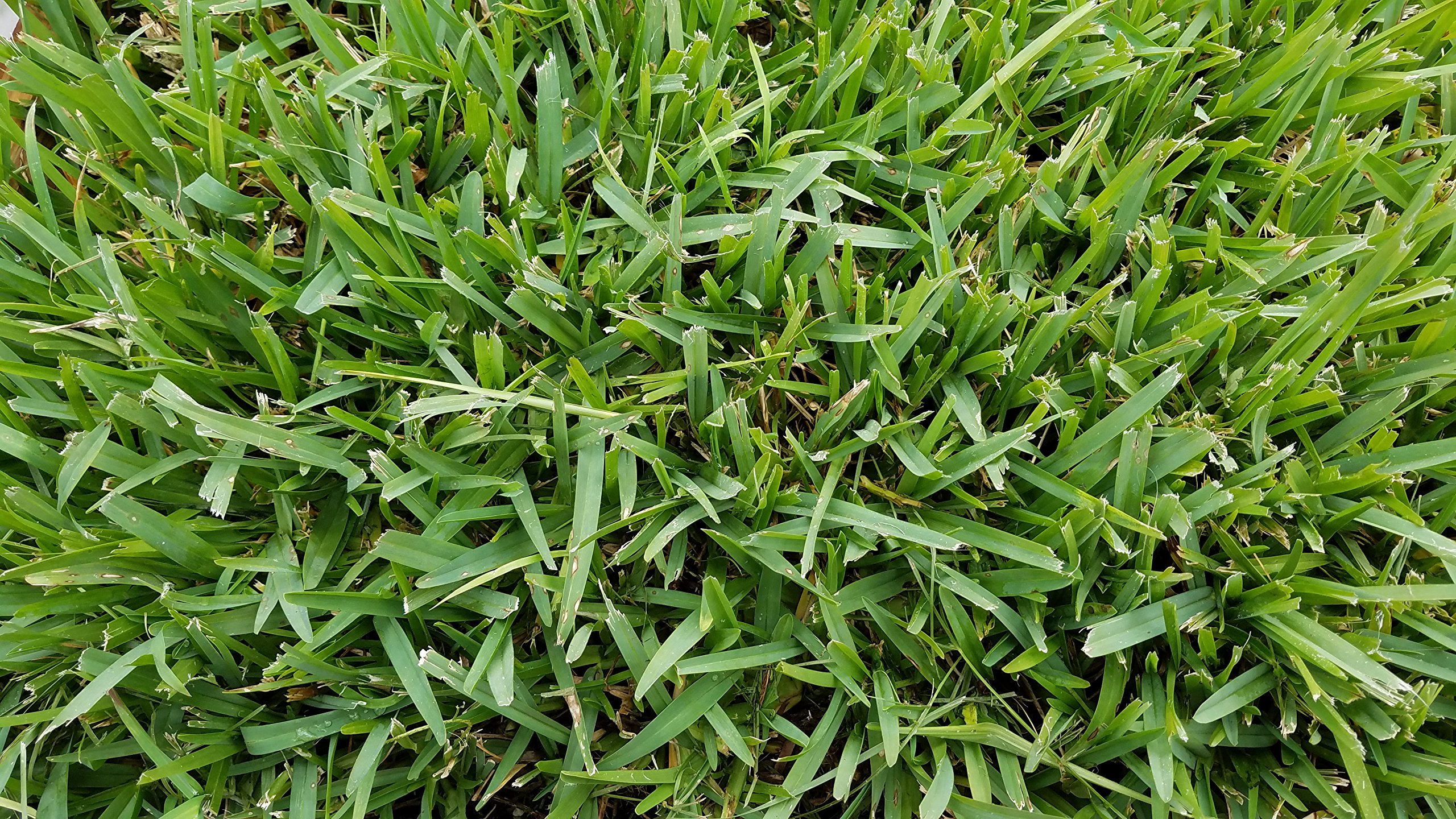 Gulf Kist 'Classic' St Augustine Grass Plugs - 36 Count