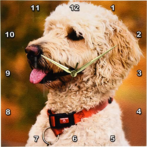 3dRose DPP_90839_2 Massachusetts, Reading, Labradoodle Dog – US22 JEN0071 – Jim Engelbrecht – Wall Clock, 13 by 13-Inch