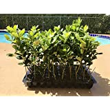 Nellie R. Stevens Holly Qty 30 Live Plants Evergreen Privacy Hedge