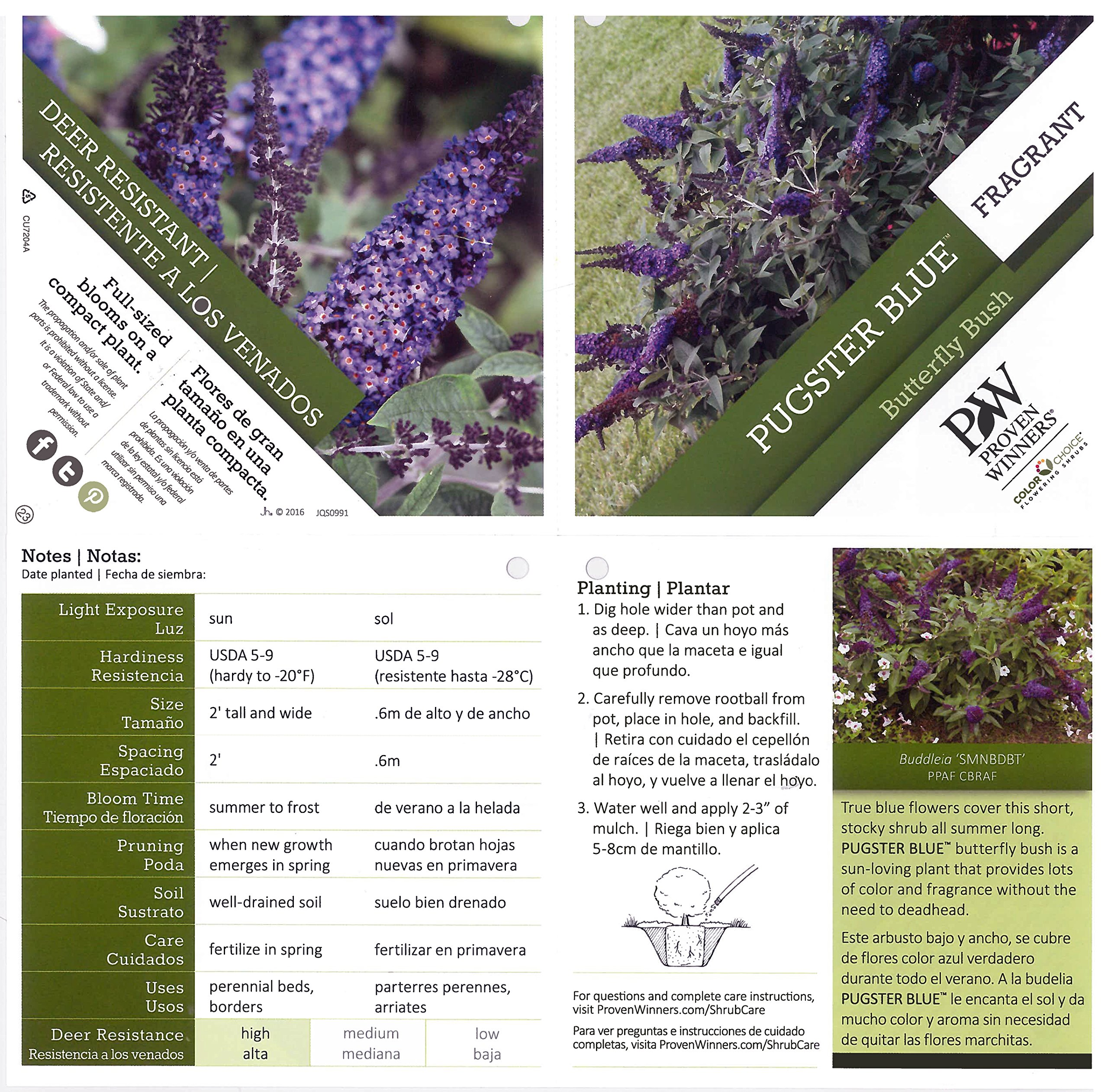 Pugster Blue Butterfly Bush (Buddleia) Live Shrub, Blue Flowers, 1 Gallon by Proven Winners (Image #3)