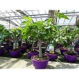 Feigenbaum Bonsai 80 cm winterhart, Ficus Carica hell + dunkel, Feige, Obstbaum