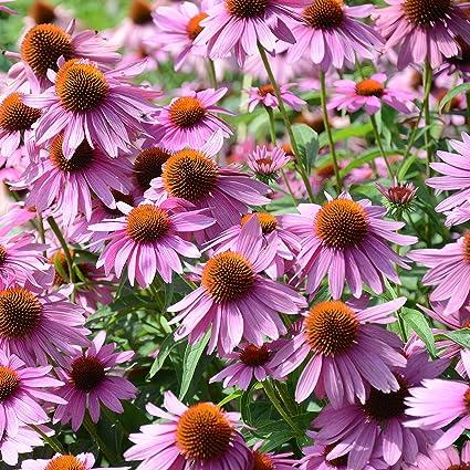 Amazon outsidepride echinacea purple coneflower flower seeds outsidepride echinacea purple coneflower flower seeds 1000 seeds mightylinksfo
