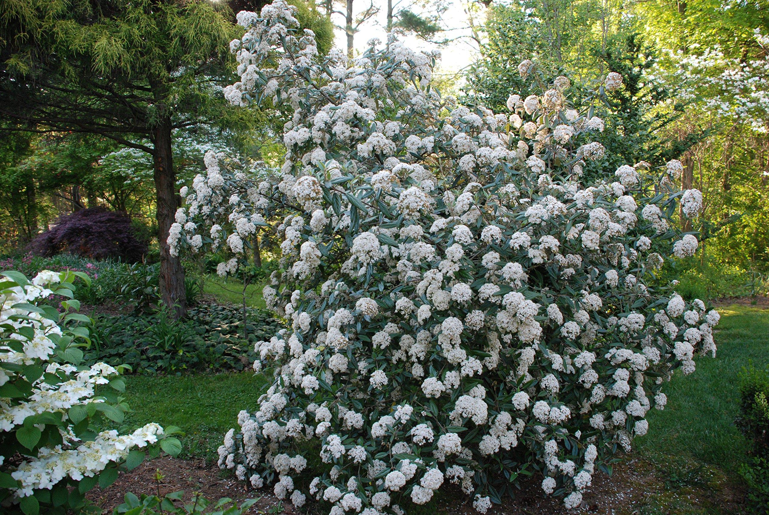 Pragense Viburnum - Live Plants - Lot of 10 Shrubs 2 Feet Tall - Prague Hedge by DAS Farms