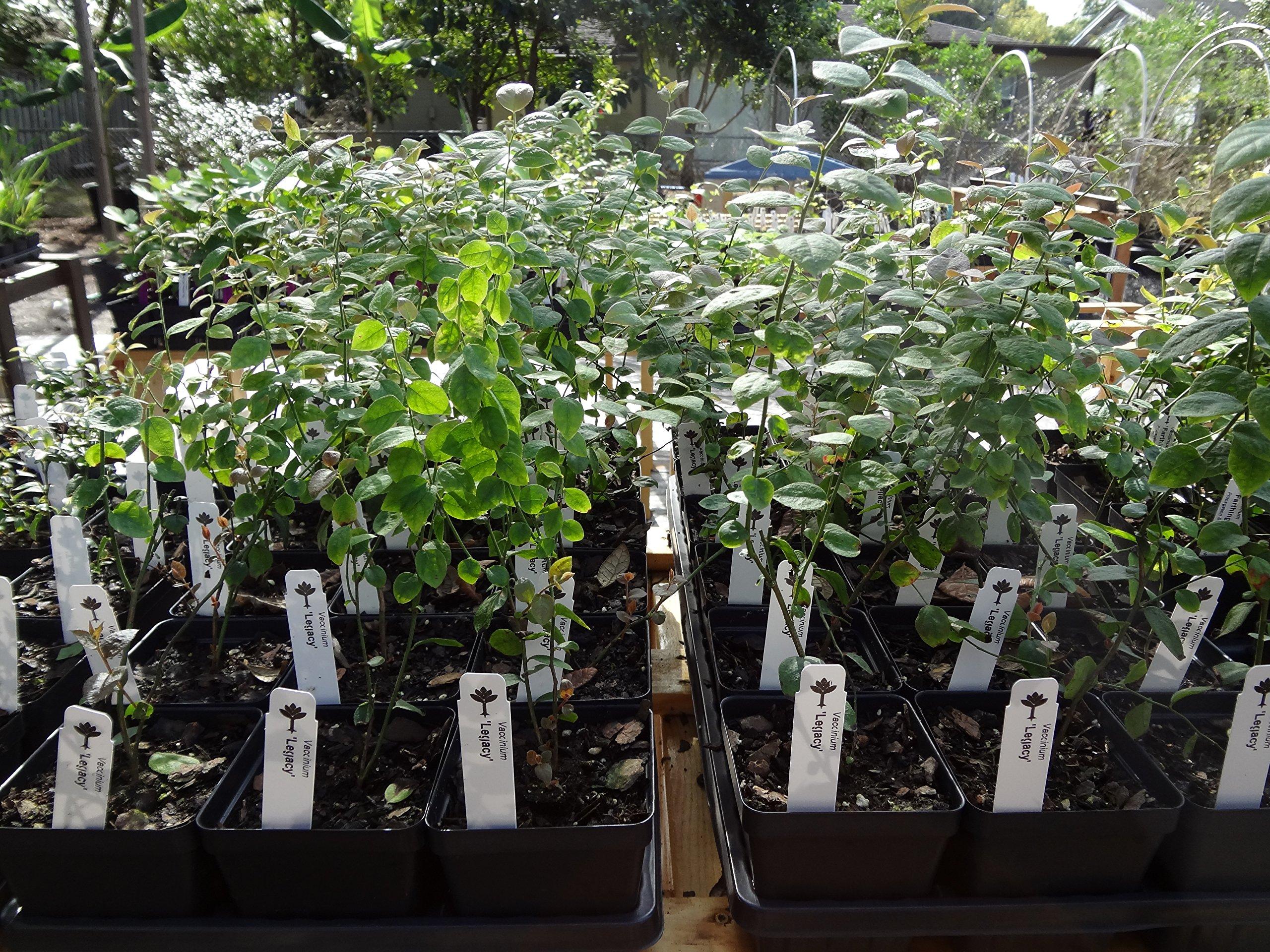 Blueberry Plants ''Legacy'' Northern Highbush Includes (4) Four Plants